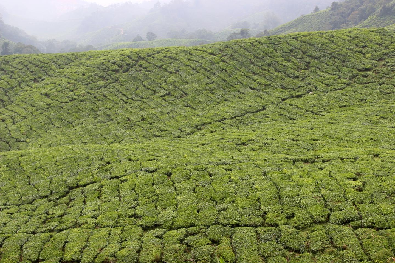 Tea Plantations over hills